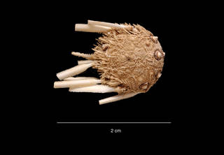 To NMNH Extant Collection (Notocidaris hastata Mortensen USNM E11054 aboral photo)