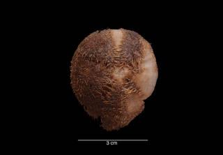 To NMNH Extant Collection (Tripylus (Parapneustes) cordatus Koehler USNM 26960 aboral view)