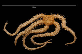 To NMNH Extant Collection (Ophiacantha pentactis Mortensen, 1936 USNM 43810 dorsal view)