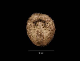 To NMNH Extant Collection (Abatus sp. USNM 48818 oral view)