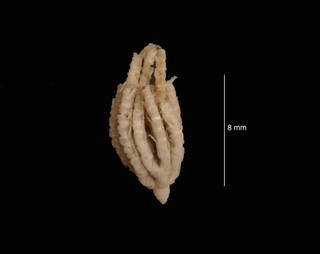 To NMNH Extant Collection (Eumorphometra concinna Clark, 1915 (USNM 00384) syntype, lateral view)