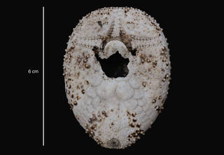 To NMNH Extant Collection (Brachymaster chesheri Larrain, 1985 (USNM E11025) holotype, oral view)
