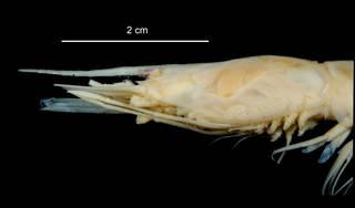 "To NMNH Extant Collection (Nematocarcinus lanceopes USNM 1009759 specimen ""a"" rostrum)"