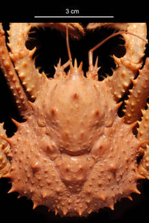 To NMNH Extant Collection (Paralomis birsteini USNM 228830 carapace)