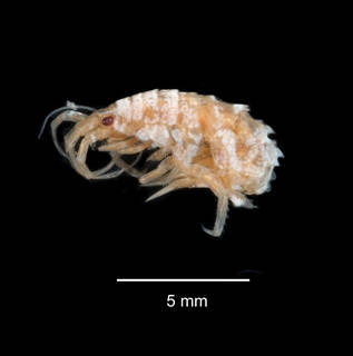 To NMNH Extant Collection (Chosroes decorratus USNM 143503 lateral view)