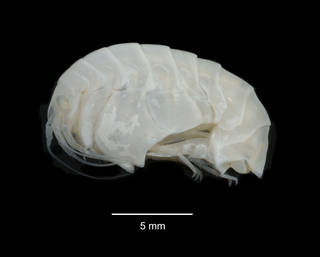 """To NMNH Extant Collection (Epimeria annabellae USNM 239492 specimen """"b"""" lateral view)"""