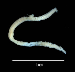 "To NMNH Extant Collection (Ammotrypane nematoides USNM 46893 specimen ""b"" whole animal)"
