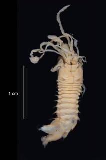 To NMNH Extant Collection (Melinantipoda antarctica USNM 56805 dorsal view)