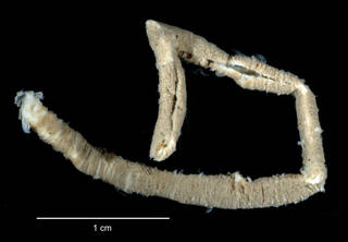 """To NMNH Extant Collection (Notonuphis antarctica USNM 58411 specimen """"a"""" worm tube)"""