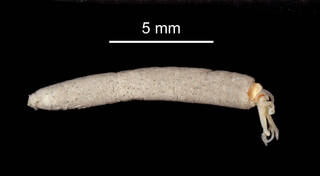 "To NMNH Extant Collection (Eusamytha sexdentata USNM 47025 specimen ""a"" worm in tube)"