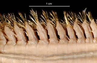 To NMNH Extant Collection (Barrukia cristata USNM 57462 bristles)