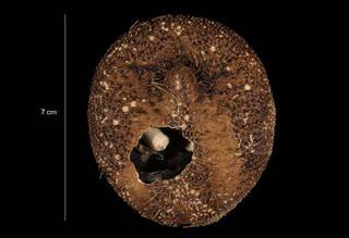 To NMNH Extant Collection (Amphipneustes similis Mortensen (USNM E31723) oral view)