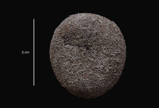 To NMNH Extant Collection (Urechinus mortenseni David & Mooi , 1990 (USNM E40039) holotype, oral view)