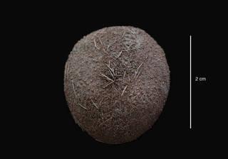 To NMNH Extant Collection (Urechinus mortenseni David & Mooi , 1990 (USNM E40039) holotype, aboral view)