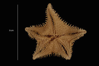 To NMNH Extant Collection (Hippasteria hyadesi Perrier (USNM E43921) ventral view)