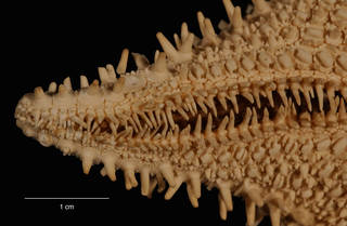 To NMNH Extant Collection (Hippasteria hyadesi Perrier (USNM E43921) arm, ventral view)