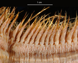 To NMNH Extant Collection (Laetmonice producta USNM 57560 bristles)