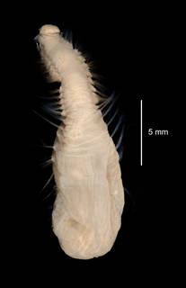To NMNH Extant Collection (Pseudoscalibregma bransfieldia USNM 58971 dorsal view)