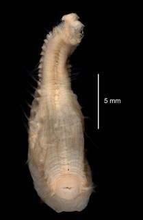 To NMNH Extant Collection (Pseudoscalibregma bransfieldia USNM 58971 ventral view)