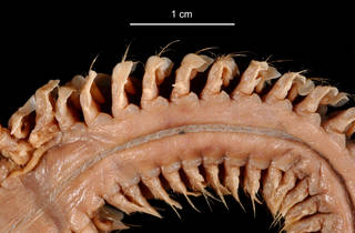 To NMNH Extant Collection (Aglaophamus posterobranchus USNM 55523 bristles)