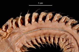 To NMNH Extant Collection (Aglaophamus posterobranchus USNM 55523 bristles)