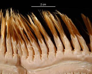 To NMNH Extant Collection (Eulagisca gigantea USNM 74575 bristles)