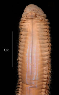 To NMNH Extant Collection (Aglaophamus ornatus USNM 55521 anterior dorsal view)