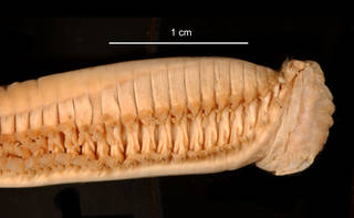 To NMNH Extant Collection (Aglaophamus ornatus USNM 55521 anterior lateral view)