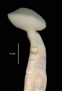 """To NMNH Extant Collection (Galatheabdella bruuni USNM 121379 specimen """"a"""" abcess)"""