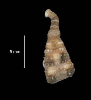 To NMNH Extant Collection (Stibarobdella tasmanica USNM 121693 dorsal view)