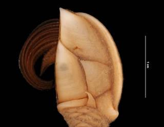 To NMNH Extant Collection (Arcoscalpellum portoricanum intonsum (Pilsbry) (USNM 1010601) closeup view)
