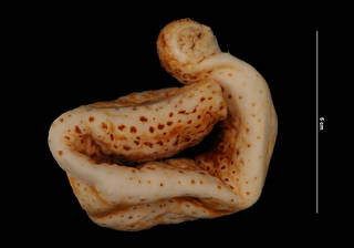 To NMNH Extant Collection (Holothuria lentiginosa enodis Miller & Pawson (USNM E32251) ventral view)