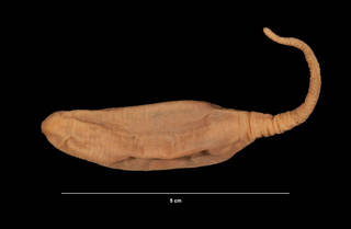 To NMNH Extant Collection (Hedingia albicans (Theel) (USNM E41370) left lateral view)