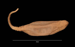 To NMNH Extant Collection (Hedingia albicans (Theel) (USNM E41370) right lateral view)