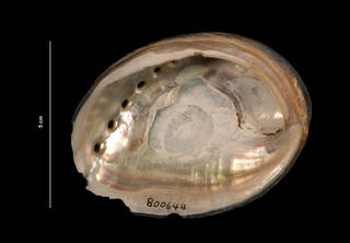 To NMNH Extant Collection (Haliotis cracherodii Leach, 1814 (USNM 800644) ventral view)