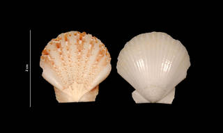 To NMNH Extant Collection (Pecten raveneli Dall, 1898 (USNM 833727) outer view)