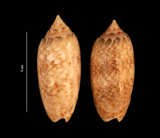 To NMNH Extant Collection (Oliva sayana Ravenel, 1834 (USNM 843328) dorsal view)
