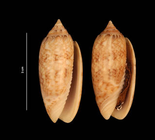 To NMNH Extant Collection (Oliva sayana Ravenel, 1834 (USNM 843328) ventral view)