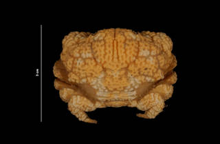 To NMNH Extant Collection (Glyptoxanthus erosus (Stimpson) (USNM 214943) dorsal view)