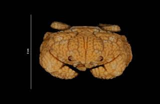 To NMNH Extant Collection (Glyptoxanthus erosus (Stimpson) (USNM 214943) head view)