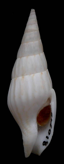 To NMNH Extant Collection (Strombina (Cotonopsis) argentea Houbrick, 1983 Holotype Ventral)