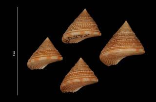 To NMNH Extant Collection (Calliostoma bairdii Verrill & Smith, 1880 (USNM 828019) dorsal view)
