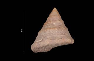 To NMNH Extant Collection (Calliostoma javanicum Lamarck, 1822 (USNM 843447) dorsal view)