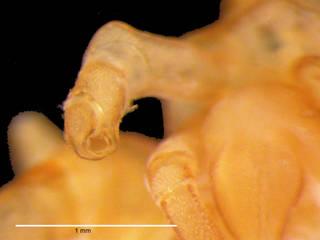 To NMNH Extant Collection (iz crt 113384 Austroraptus sicarius chela ventral)