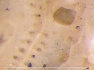 To NMNH Extant Collection (iz bry 11307 Smittoidea ornatipectoralis colony autozooids 50x)