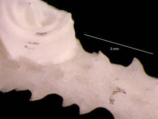 To NMNH Extant Collection (iz bry 11244 Cellarinella laytoni colony autozooids 12x)