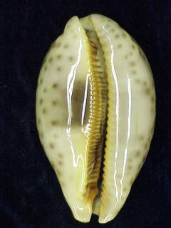To NMNH Extant Collection (IZ MOL 876753 Ventral)