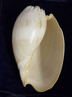 To NMNH Extant Collection (IZ MOL 877680 Ventral)