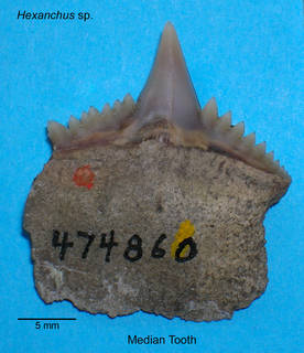 To NMNH Paleobiology Collection (Hexanchus tooth)