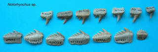 To NMNH Paleobiology Collection (Notorynchus teeth)